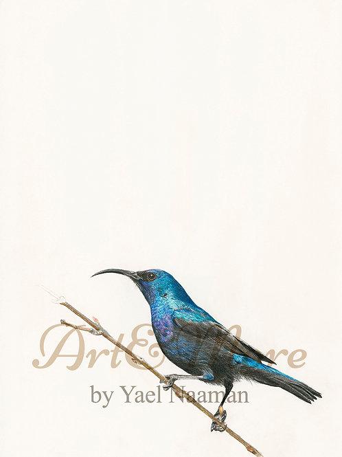 Small Palestine sunbird , male, Art Print