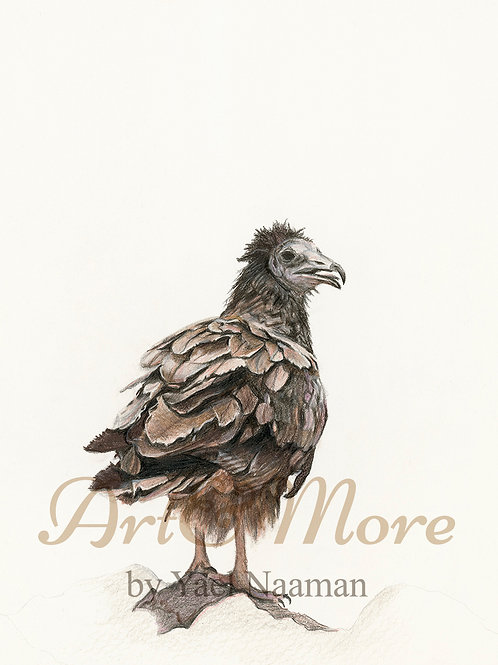 Large Egyptian Vulture Art Print