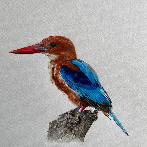 Original drawing white throated kingfisher ציור מקור שלדג לבן חזה