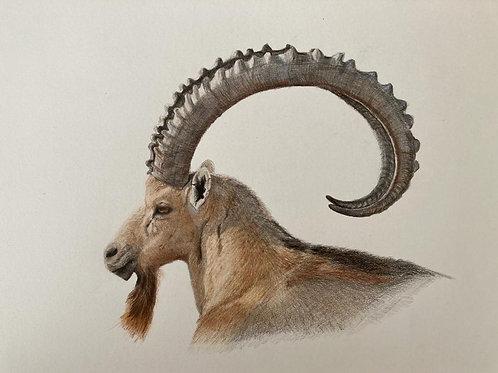 Original drawing Ibex  רישום מקורי יעל