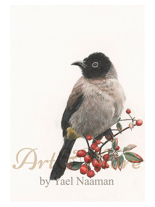 Original Drawing Whit spectacled Bulbul
