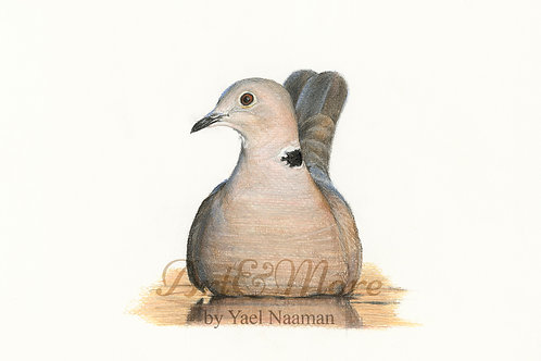Small Collared Dove open eyes Print
