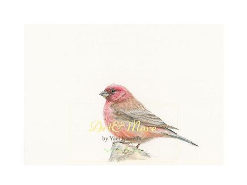 Sinai Rosefinch Small Artprint  הדפס אמנות קטן ורדית סיני