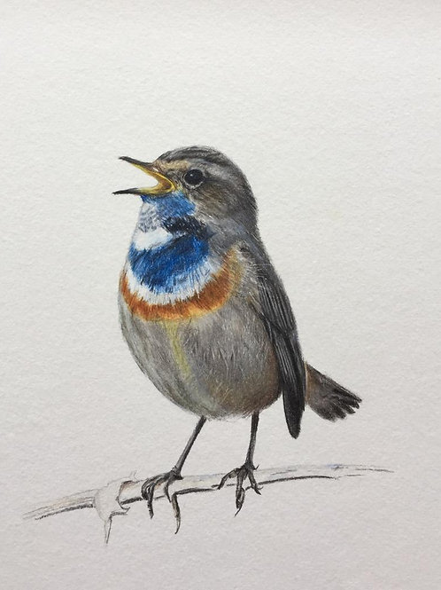 Large Bluethroat Art Print