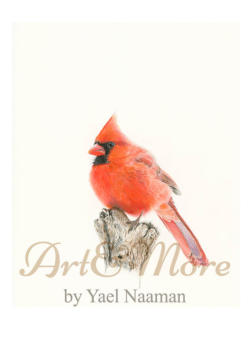 Small Northern Cardinal Art Print
