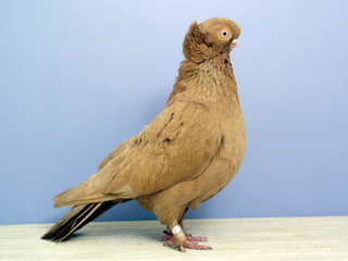 Ancient Pigeon