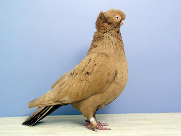 Ancient Pigeon