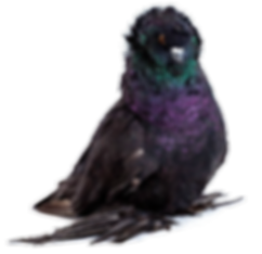 Pigeon%20_edited.png