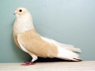 Egyptian Swift