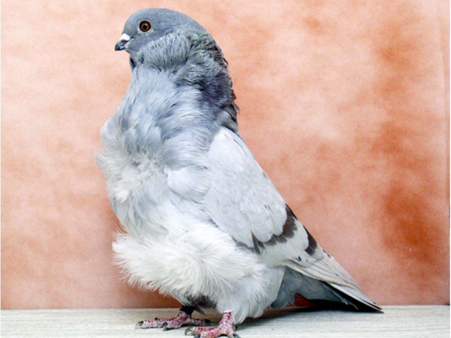 Chinese Owl Champion