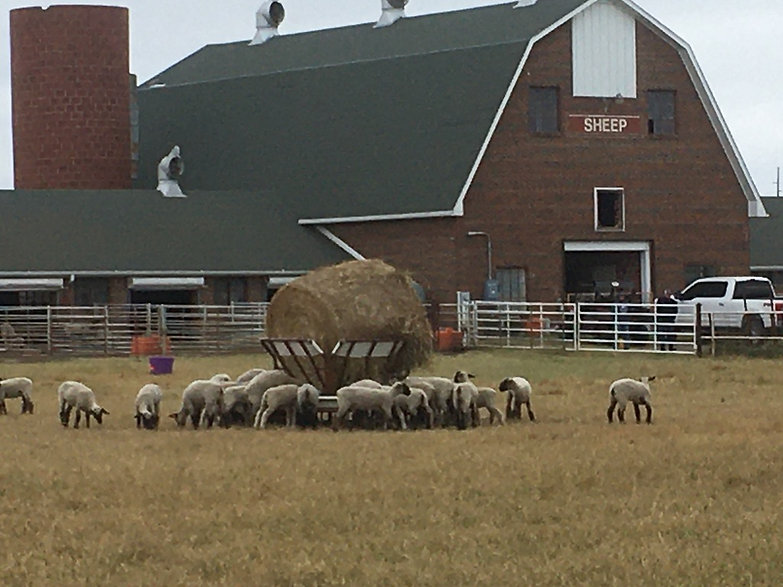 Sheep surround The Shepherd hay feeder with a round bale
