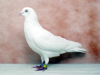 Cumulet White