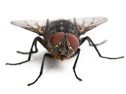 house-fly.jpg