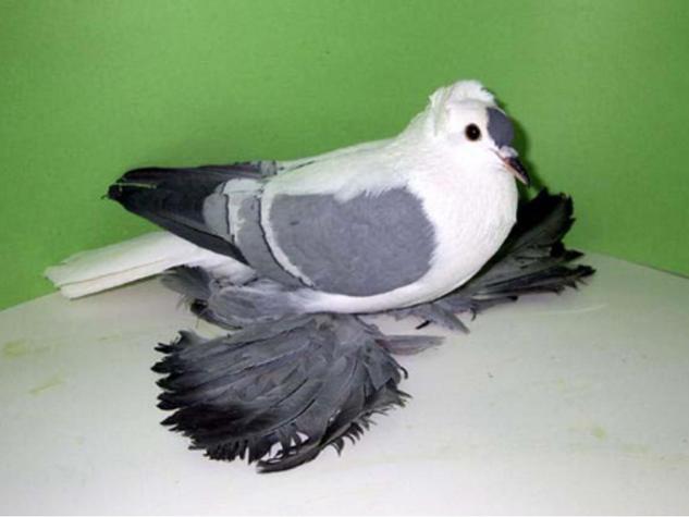 Fairy Swallow