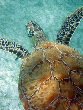 Turtle, Sea Turtle Protection Program, Centro Ecologico Akumal