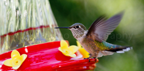 Kolibri (2689)
