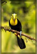 keel-billed toucan (90A0510)