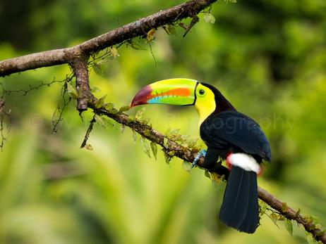 keel-billed toucan (90A0509)