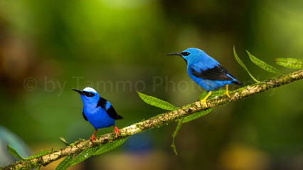 red & yellow legged honeycreeper(90A1800)