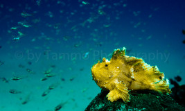 leaf scorpion fish (147266)