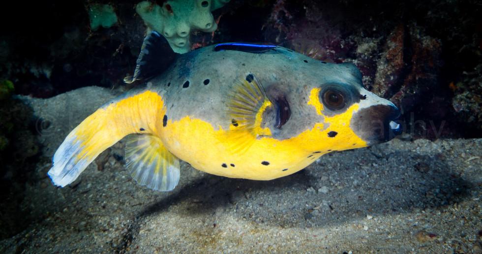 kugelfisch (157447)