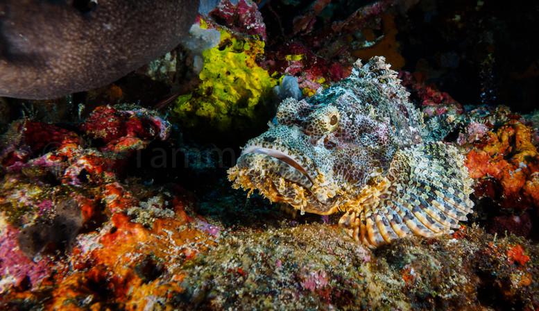 Scorpion fish (157427)
