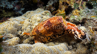 geographic cone snail (158651)