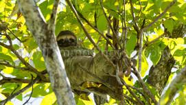 three-toed sloth (4203)