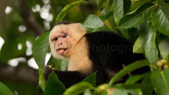 capuchin monkey (90A4909)