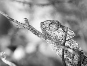 European Chameleon (0454)