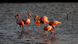 Flamingos (2081)