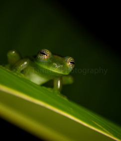 glass frog (3942)