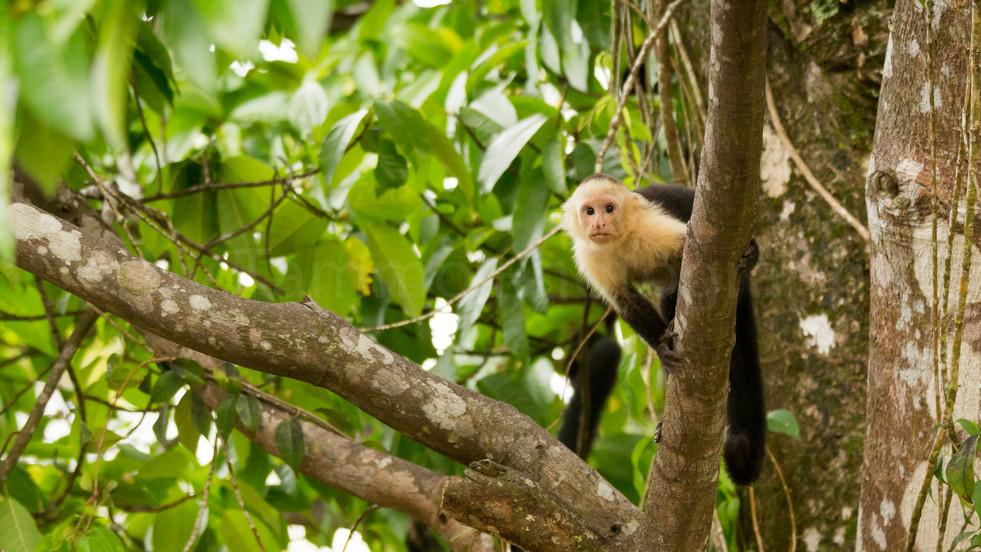 capuchin monkey (90A4930)
