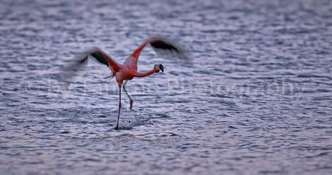 starting Flamingo (2234)