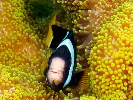 Clownfish (168689)