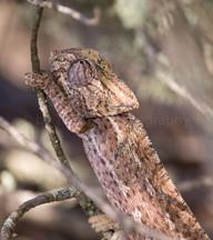 European Chameleon (0449)