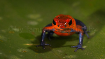 strawberry poison frog or blue jeans frog (3837)