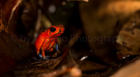 strawberry poison frog or blue jeans frog (3178)