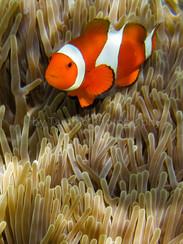 Clownfish (1529)