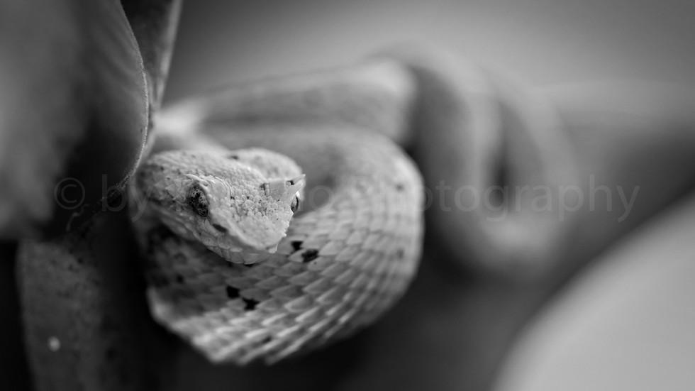 eyelash viper (3231)