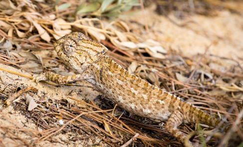 European Chameleon (0386)