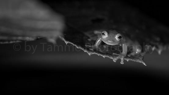 glass frog (3112)