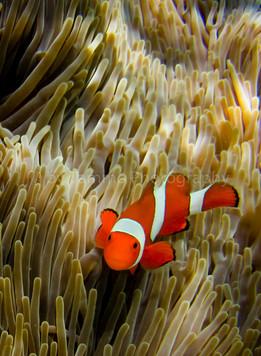 Clownfish (1527-2)