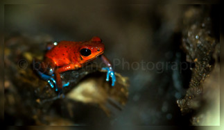 strawberry poison frog or blue jeans frog (90A0808)