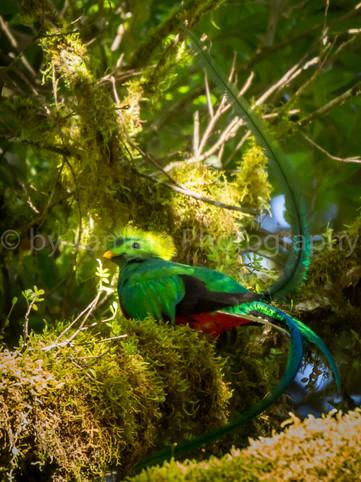 Quetzal (6440)
