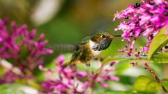 vulcano hummingbird (90A6760)