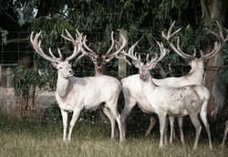 white Deer 2015