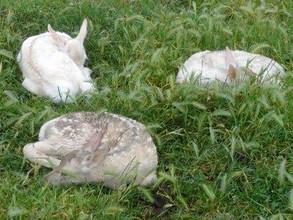 Royal Lochinvine White Fawns.jpg