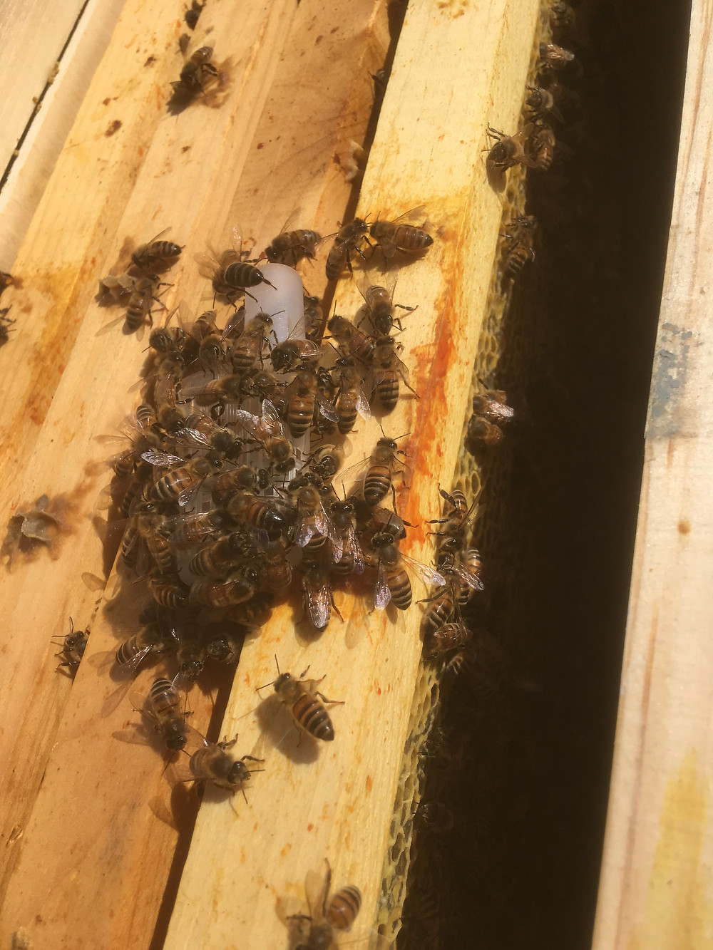 Queen bee. Queen cage. Dunham Bees.
