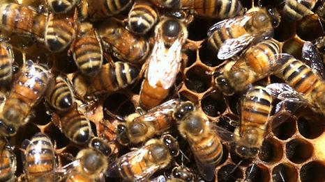 Queen bee. London, Ohio.